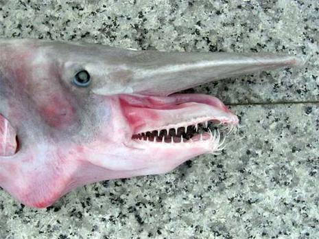 Animaux on Requin Lutin